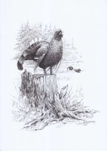 Black grouse - illustration for the 2018 calendar - Michał Nowakowski
